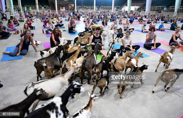 Excited yogis react as dozens of goats are released onto the yoga floor during goat yoga at the Denver County Fair on July 23 2017 in Denver Colorado...