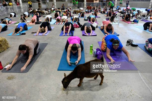 Excited yogis react as dozens of goats walk around the yoga floor during goat yoga at the Denver County Fair on July 23 2017 in Denver Colorado 236...