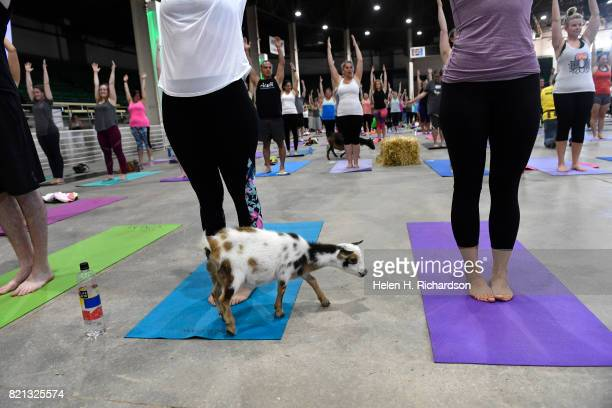 Excited yogis try to stay focused as they watch dozens of cute goats walk around the yoga floor during goat yoga at the Denver County Fair on July 23...