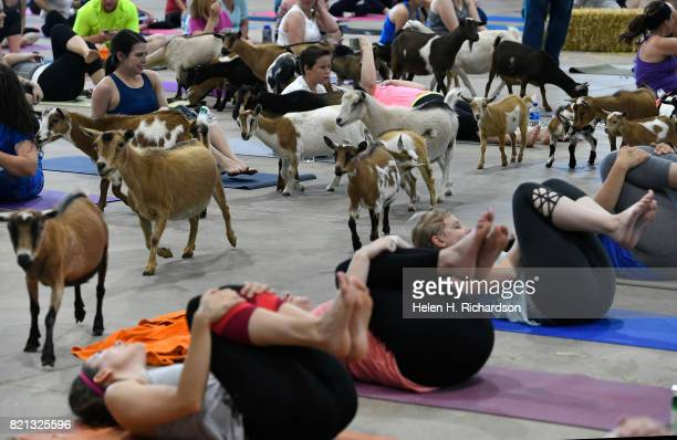 Excited yogis try to stay focused on yoga moves as dozens of goats walk around the yoga floor during goat yoga at the Denver County Fair on July 23...