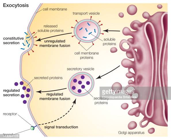 cell membrane transport Active transport: sometimes, much-needed nutrients or harmful substances must be transported across the membrane against a concentration gradient in these cases, the cell must provide energy in order to move the material against the direction of diffusion.