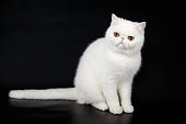 Studio photography of a exotic bicolor cat on colored backgrounds