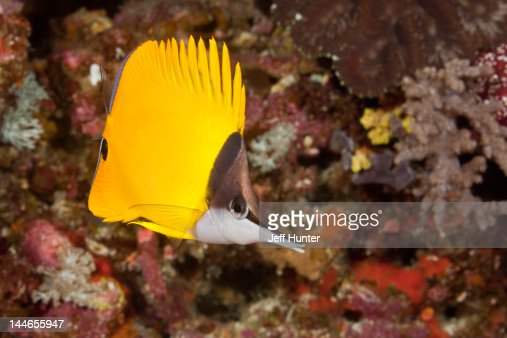 Exotic Butterflyfish on a tropical coral reef : Stock-Foto