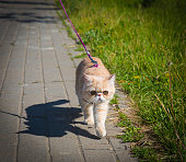 Exotic cat walks on a lead along the path