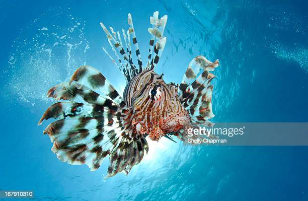 Exotic Lion Fish