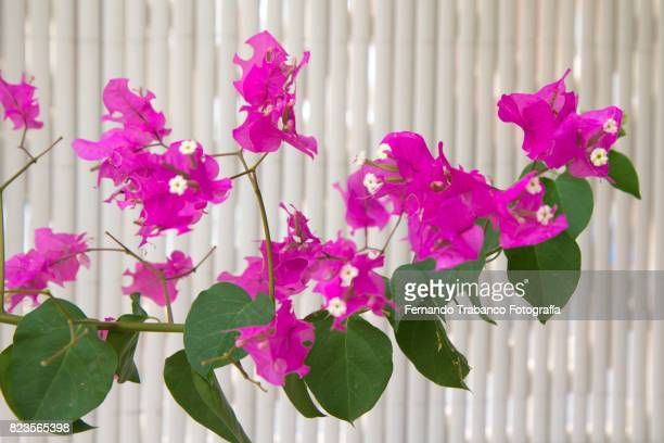 Exotic pink Bougainvilleas against a white background