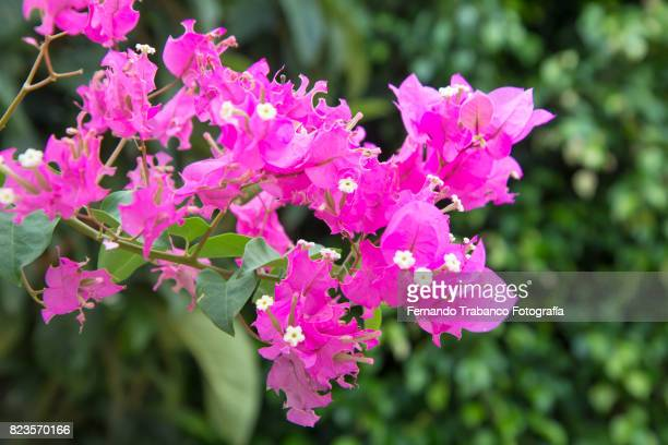 Exotic pink Bougainvilleas