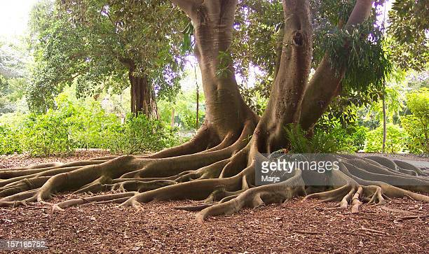 Exotic Roots of a Bay Fig Tree
