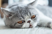 Exotic Shorthair, Lonely Cat lying on the floor