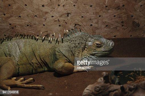 Exotic Wild Animal In Terrarium Water Dragon Stock Photo Thinkstock