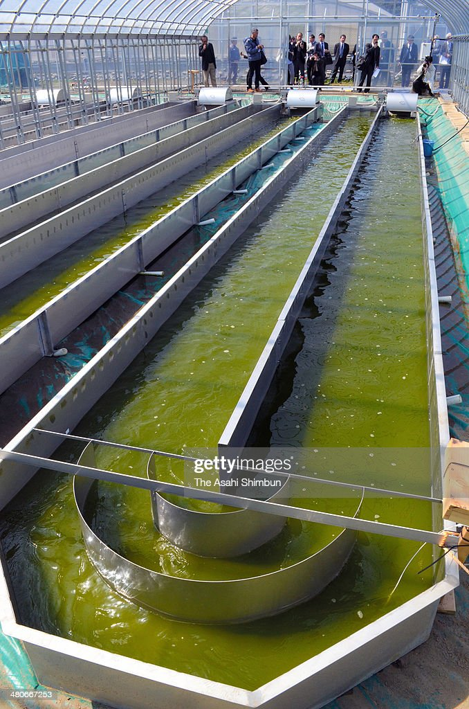 A experimental mass cultivation pond of algae 'botyococcus' is seen developed by the team led by Makoto Watanabe professor of Tsukuba University on...