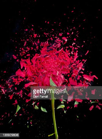 Exploding Red Rose