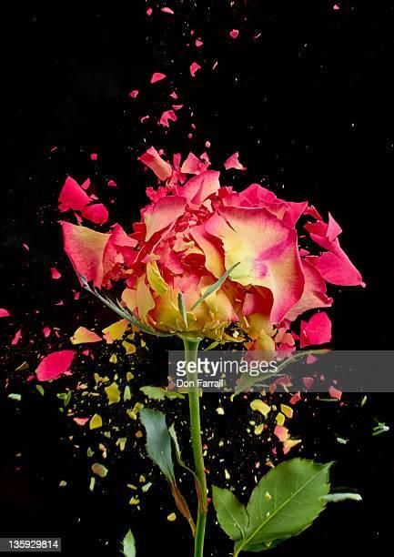 Exploding Rose