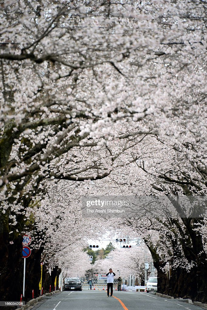 Ex-residents visit the cherry blossoms orchard in the recently no-go zone lifted part of Yonomori area on April 7, 2013 in Tomioka, Fukushima, Japan. Most of the area is still behind the barricade and remains forbidden, 2 years after the Fukushima nuclear accident.
