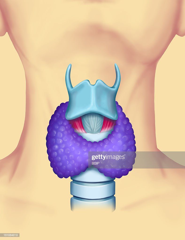 External Anatomy Of The Larynx From The Top To The Bottom Thyroid Cartilage Blue Cricothyroid Ligament Blue Cricothyroid Muscle Pink Thyroid Gland...