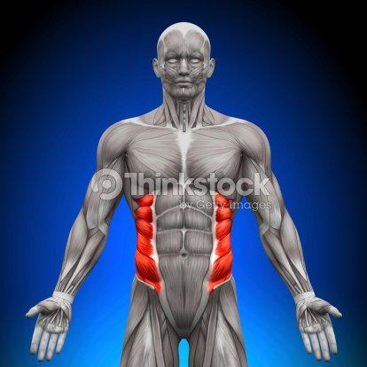 Oblicuo externo de anatomía los músculos : Foto de stock