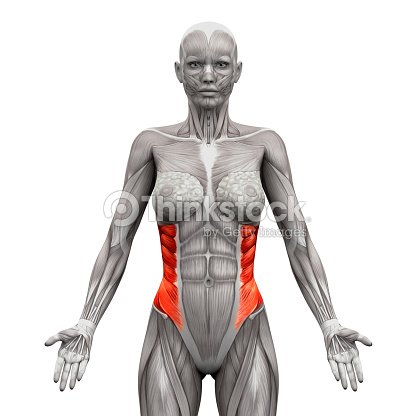 External Oblique Muscles Anatomy Muscles Isolated On White Stock ...