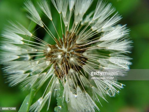 Extreme close up of dandelion