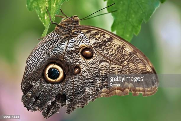 Extreme Close Up Of Forest Giant Owl Butterfly, France