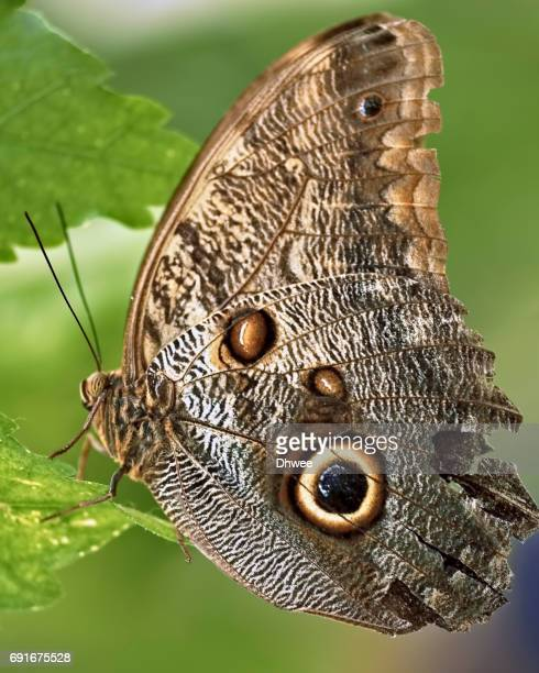 Extreme Close Up Of Forest Giant Owl Butterfly