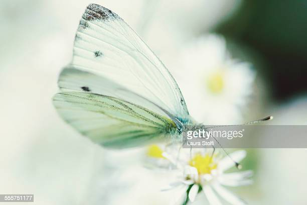 Extreme close up of white butterfly & aster flower