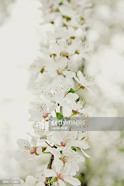 Extreme close up of white plum flowers on tree