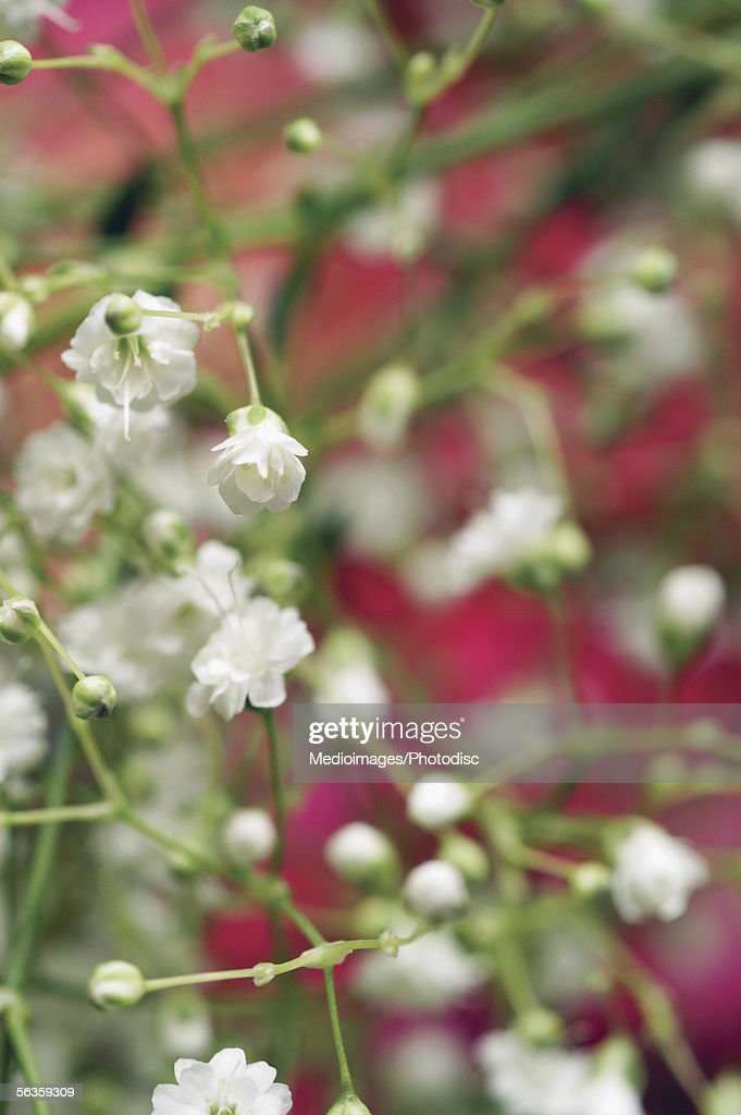 Extreme close-up of baby's breath flowers, with pink flowers in background : Stock Photo