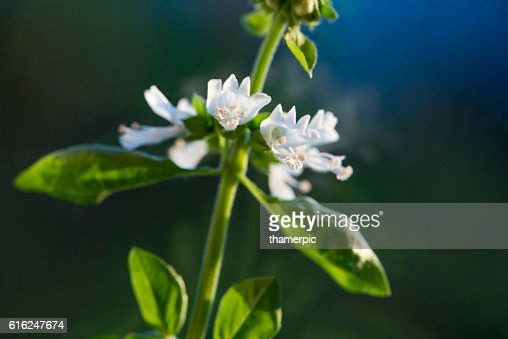 Extreme close-up of Basil herb plant and blossom : Foto de stock