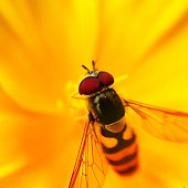 Extreme Close-Up Of Bee On Yellow Flower