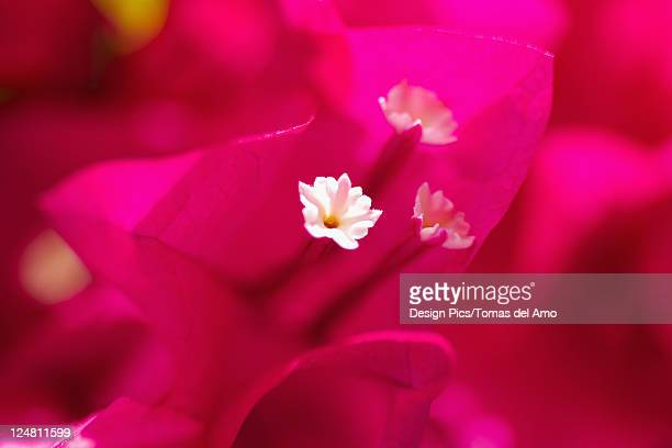 Extreme close-up of bright pink bougainvillaea, focus on white flower in center.
