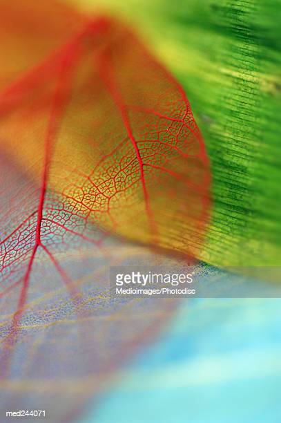 Extreme close-up of Caladium leaf and another leaf