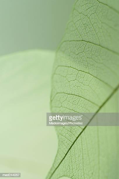 Extreme close-up of Caladium leaf