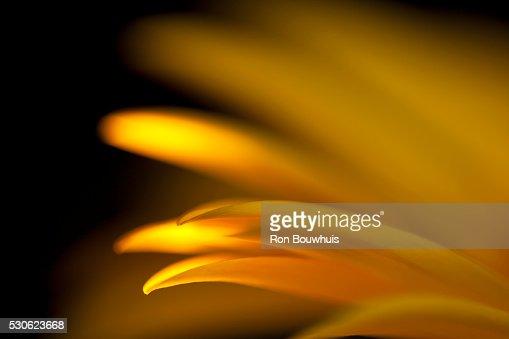 Extreme Close-Up Of Gerbera Flower; Daisy