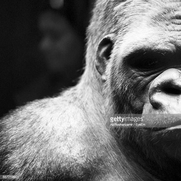 Extreme Close-Up Of Gorilla
