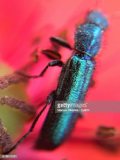 Extreme Close-Up Of Insect On Poppy