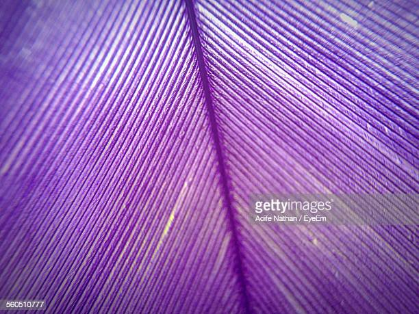 Extreme Close-Up Of Purple Feather