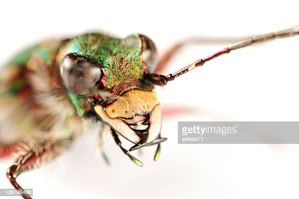 Extreme Close-up of Tiger Beetle's Face and Antennae