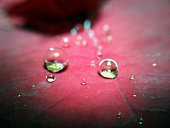 Extreme Close-Up Of Water Drops On Maroon Leaf