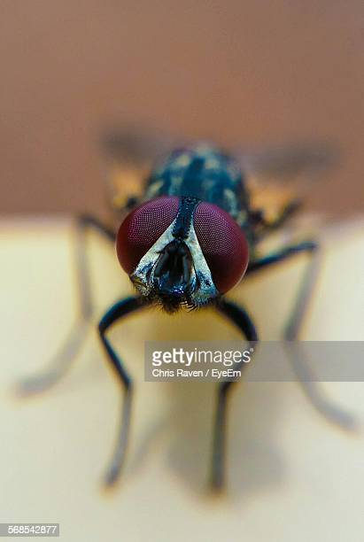 Extreme Close-Up On Housefly On Table