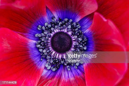 Extreme macro of a red anemone poppy