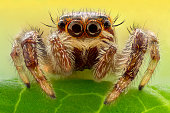 Extreme closeup of a Jumping Spider