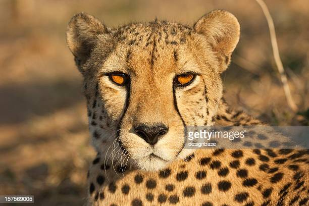 Eye contact with a cheetah