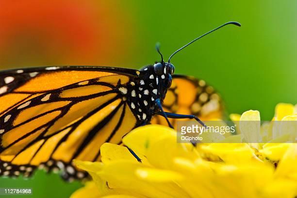 Contatto visivo con una farfalla monarca