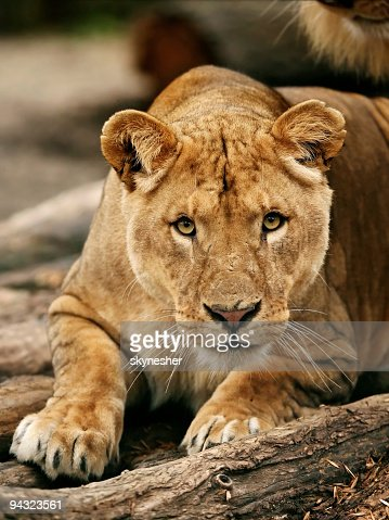 Eye contact with lioness