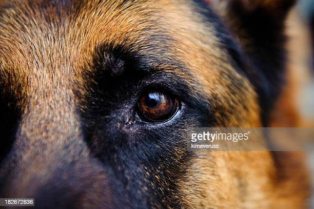 Eye Dog German Shepherd looking towards the camera
