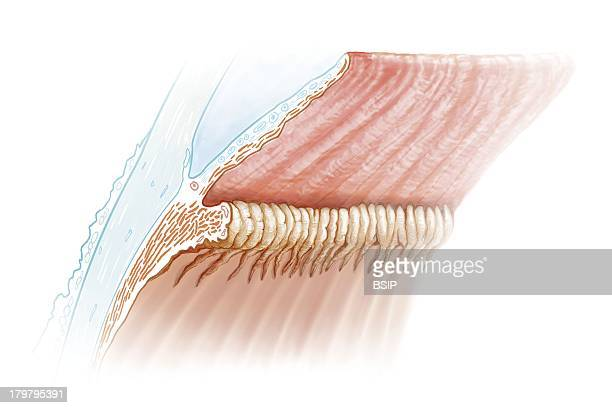 Eye Drawing Inside View Of The Human Eye Without Lens View From The Inside Informs Us About The Different Types Of Tissues The Inclinaison Of The...