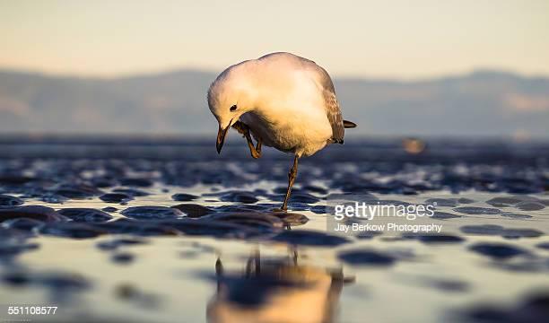 Eye Level Gull