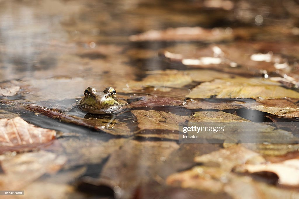 eye level with a green frog : Stock Photo