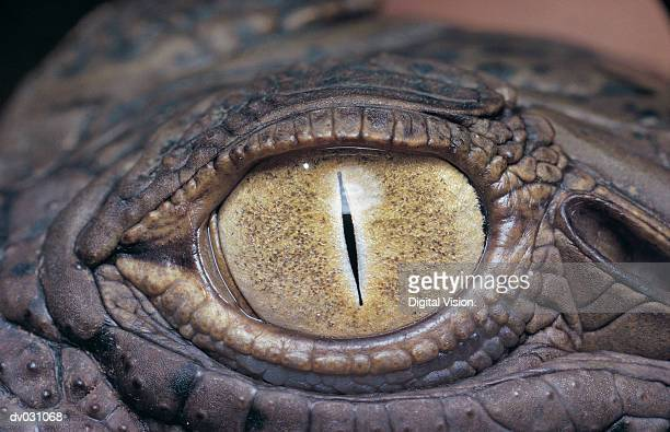 Eye of a Nile Crocodile (Crocodylus niloticus)