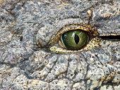 Eye of cocodrile